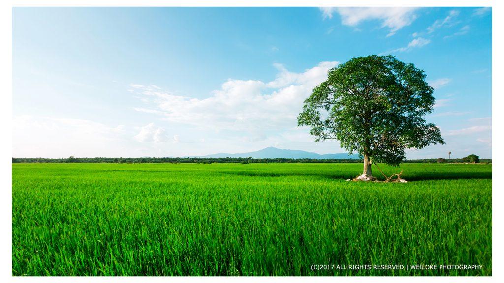 A tree in paddy field